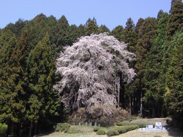ひよもの枝垂れ桜