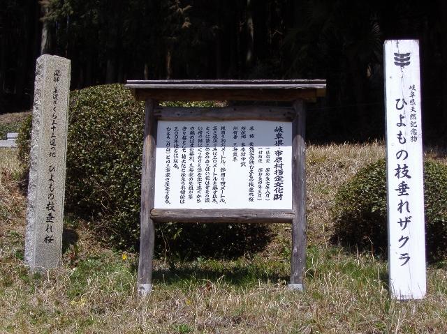ひよもの枝垂れ桜3