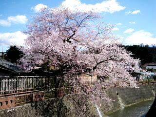 八斗蒔の彼岸桜