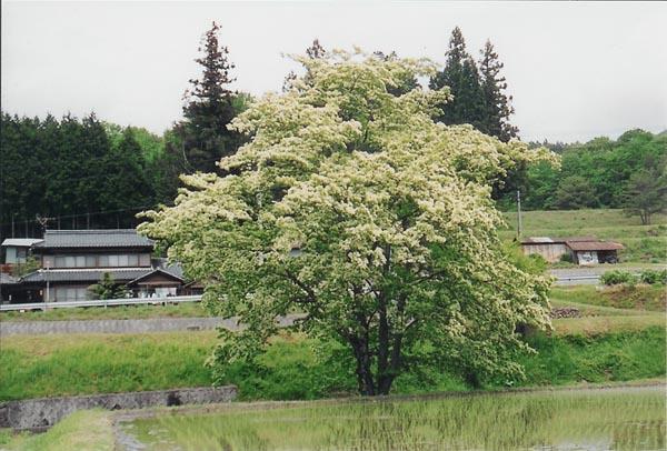 千田のヒトツバタゴ