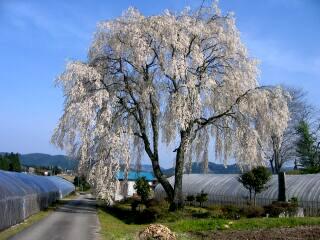 吉田川経塚の枝垂れ桜
