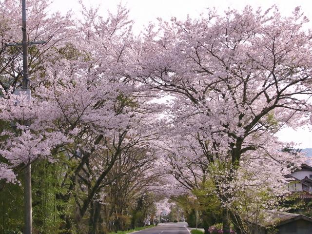 奥矢作湖畔の桜並木