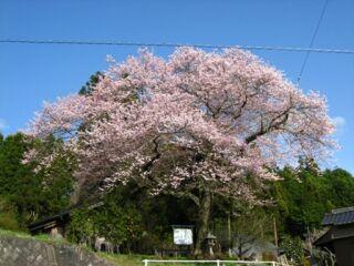 富田内杭阿弥陀堂の桜