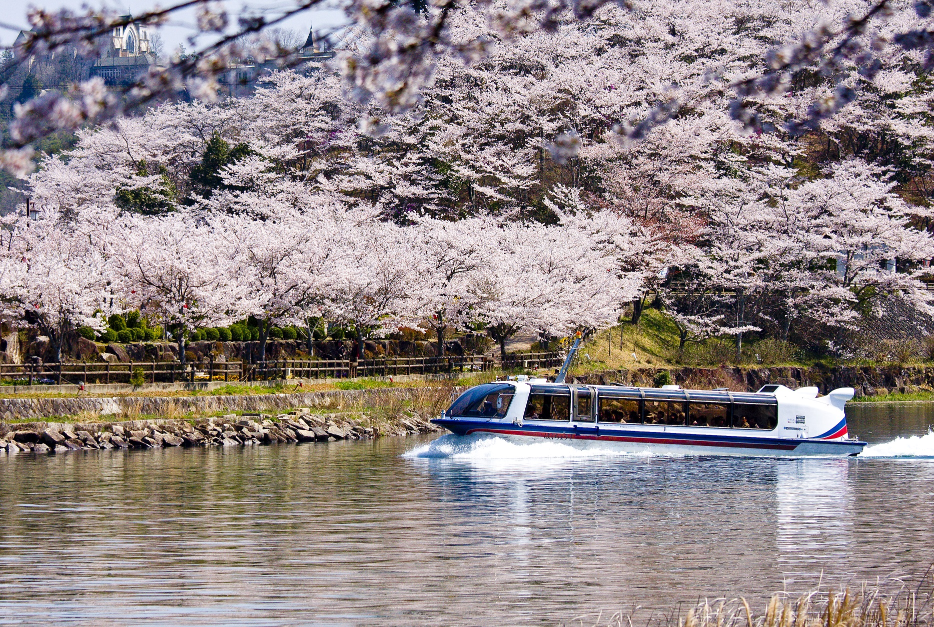桜満開のさざなみ半島を背景に進む船