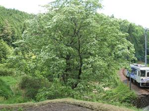 猿投神社のヒトツバタゴ