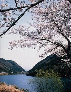笠置峡の桜
