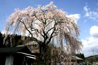 釜屋の枝垂れ桜
